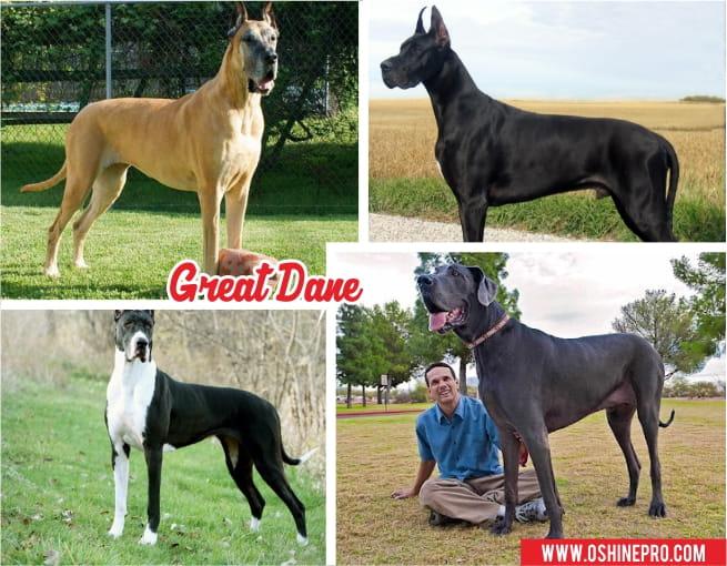 jenis anjing great dane