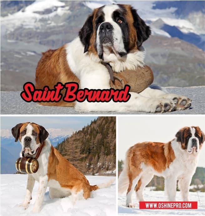 anjing saint bernard 2
