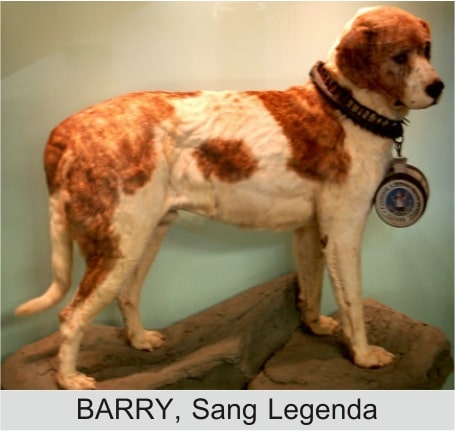 barry anjing saint bernard