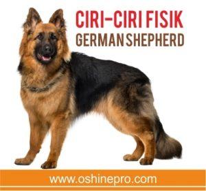 ciri ciri fisik german shepherd