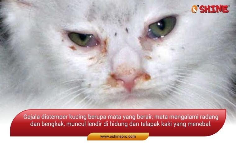 mata berair ciri distemper pada kucing