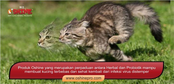 kucing bebas penyakit distemper