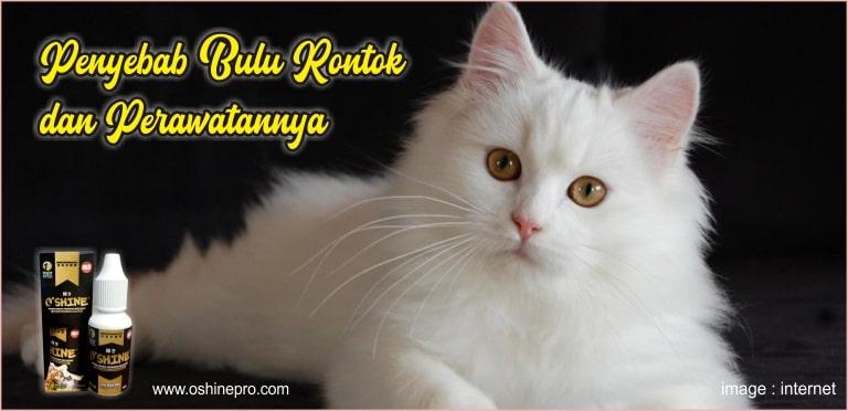Bulu kucing rontok menjadi masalah yang menyebabkan penyakit. Harus dicari penyebab bulu kucing rontok, bisa ditangani dengan oshine nutrisi herbal probiotik