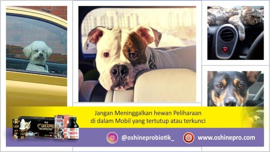 Kesalahan merawat kucing dan anjing yang ketujuh, meninggalkan hewan didalam kendaraan (mobil) yang tertutup (terkunci).