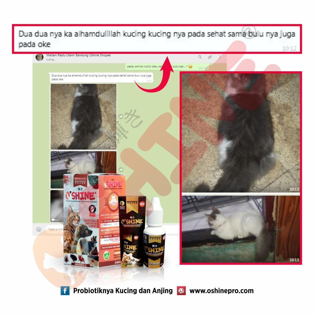 Bulu Kucing Sehat Dengan Oshine
