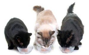 penggemuk kucing oshine